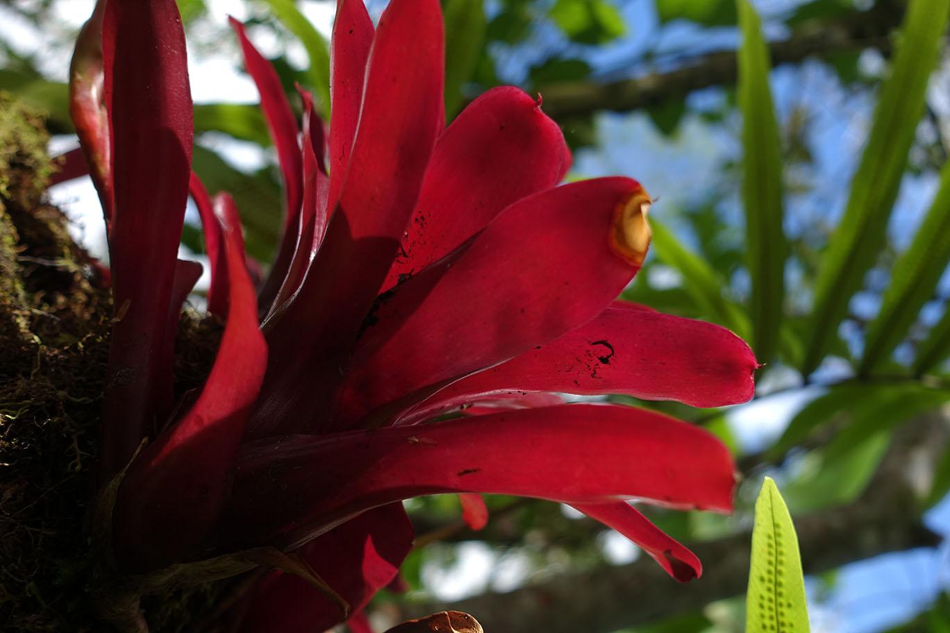 Exotische Blume in Costa Rica